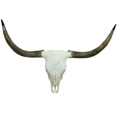 Schotse hooglander schedel te koop