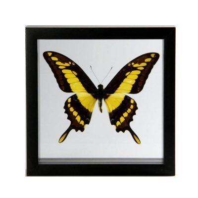 Gele vlinder in lijst