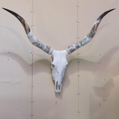 Watussi schedel